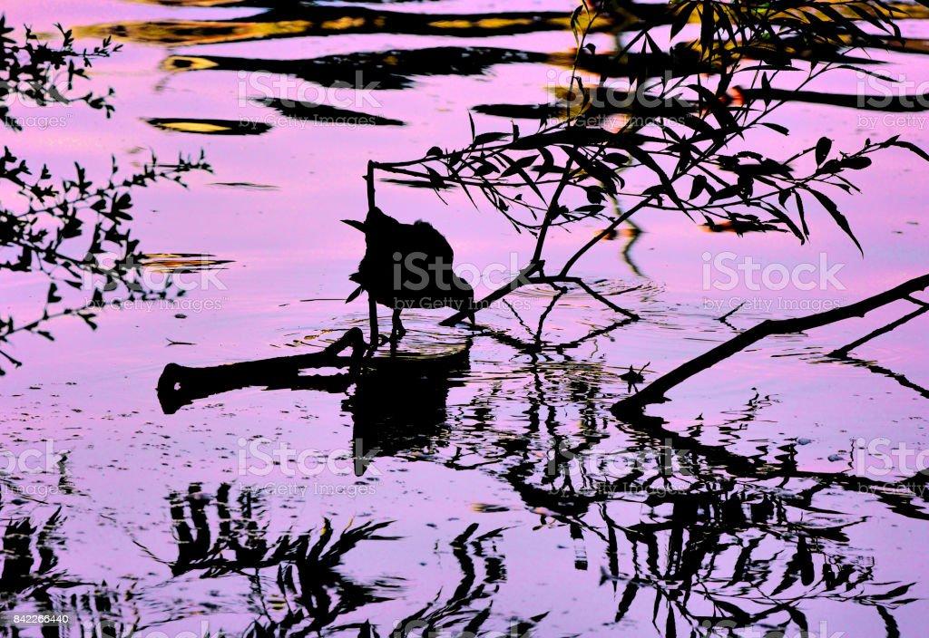 Moorhen waterbird stark black silhouette against sunset water stock photo