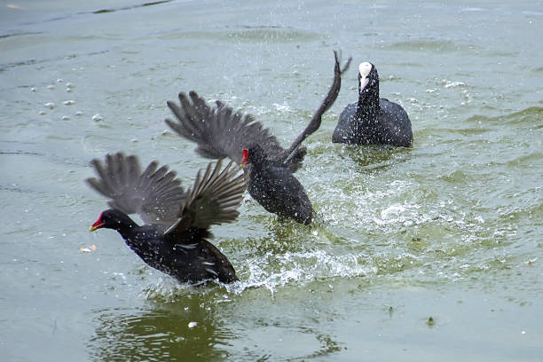 Moorhens territorial fight. Wildlife action.Two moorhens chasing each other in water.Coot in background.Birds fighting for territory. coot stock pictures, royalty-free photos & images