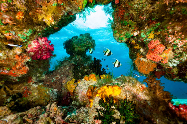 Moorish Ideols Zanclus cornutus in Blue Window with Colorful Frame, Raja Ampat, Indonesia Moorish Ideols Zanclus cornutus occurs in tropical and subtropical Indo-Pacific in a depth range from 5-182m, max. length 23cm. Abundance of encrusted life, soft and hard corals, ascidians, hydrozoans and sponges. North Kri Island, Raja Ampat, Indonesia, 0°33'15