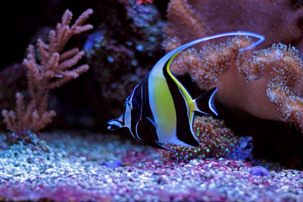 424 Moorish Idol Stock Photos Pictures Royalty Free Images Istock