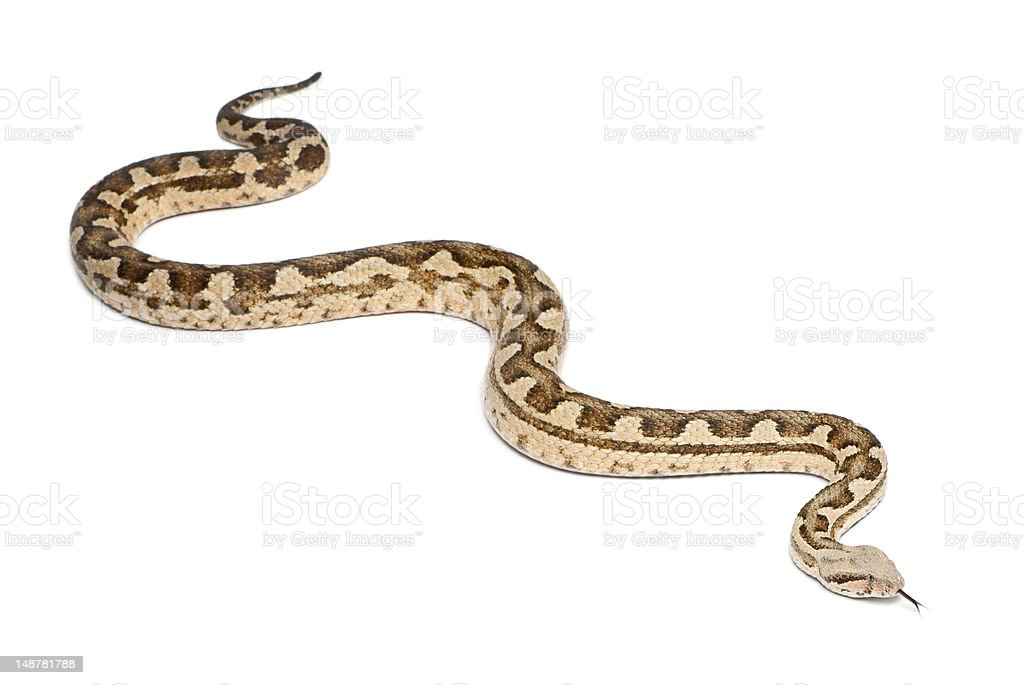 Moorish viper  - Macrovipera mauritanica, poisonous, white background stock photo