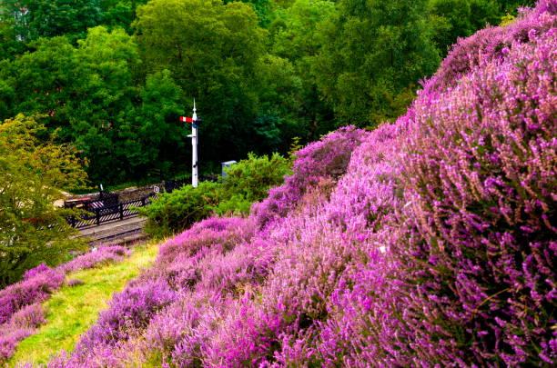 Moorland heather stock photo