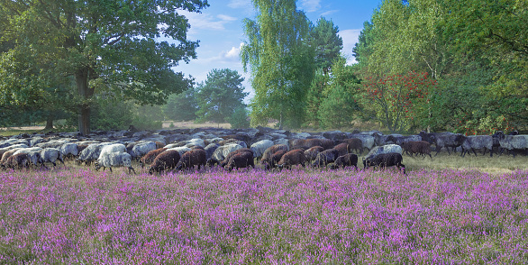 Moorland Sheep in Luneburger Heath,Germany