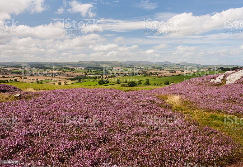 moorland with purple heather flowers stock photo