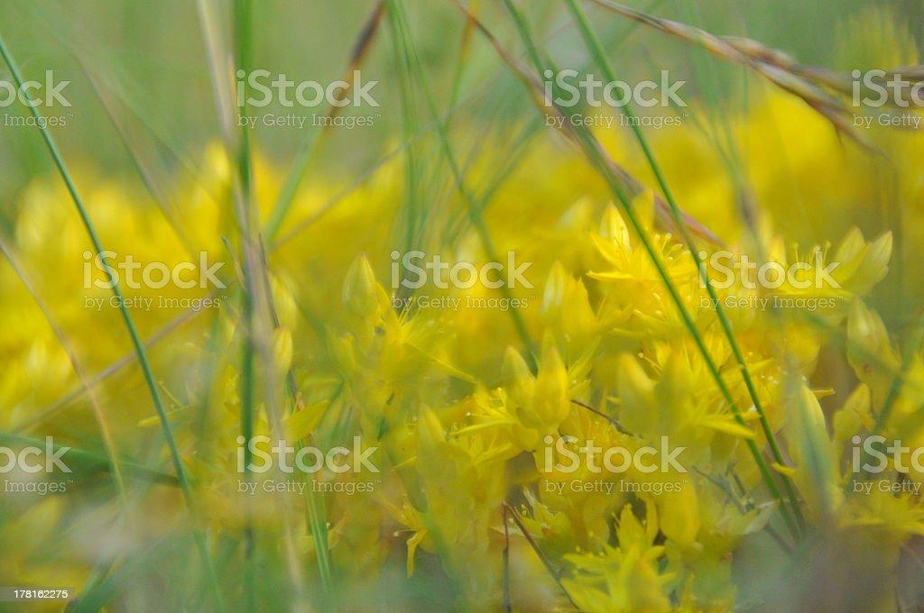 Moos Wildblume gelb _ moss wildflower yellow 100624 (397) stock photo