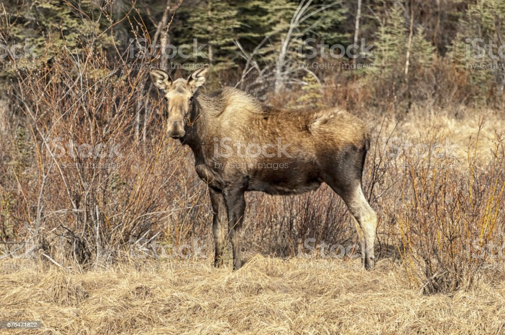Moose - Alaskan Moose photo libre de droits