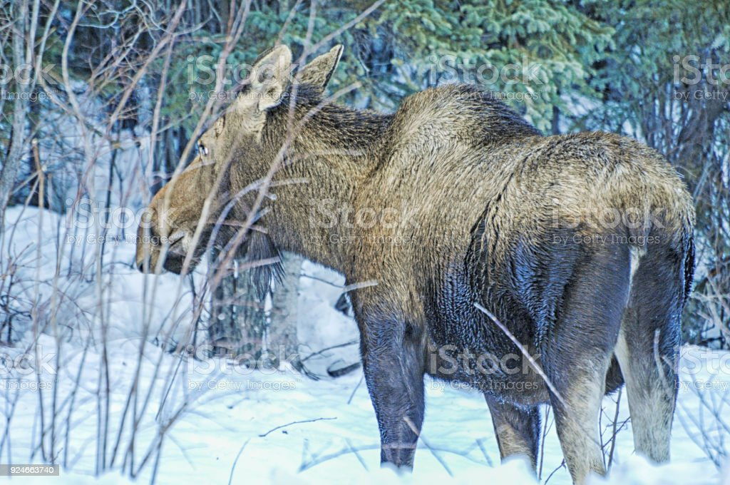 Moose - Alaskan Moose stock photo