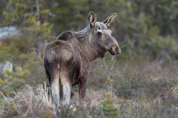 moose, alces alces - älg sverige bildbanksfoton och bilder