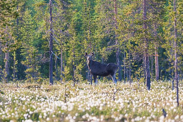 moose, alces alces standing among cottongrass looking into camera - älg sverige bildbanksfoton och bilder