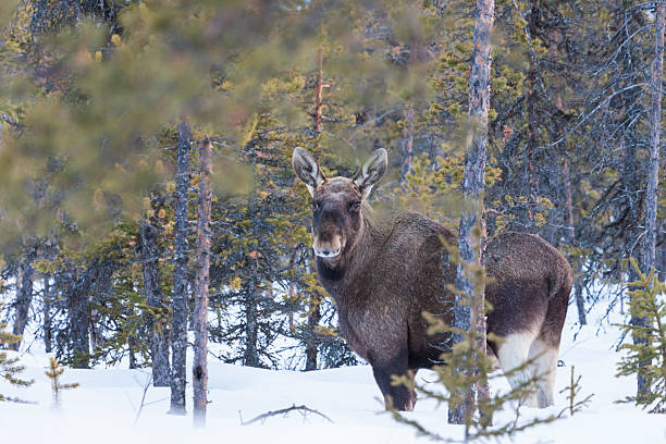 moose, alces alces standing among pine trees looking into camera - älg sverige bildbanksfoton och bilder