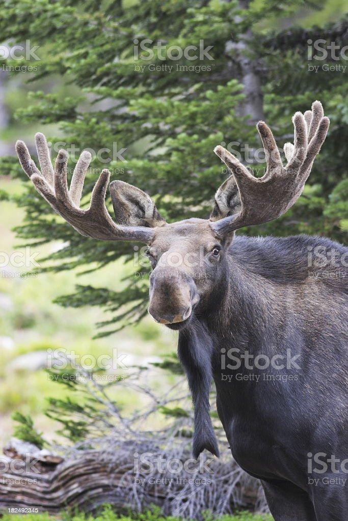 Moose Alces Antler Velvet stock photo