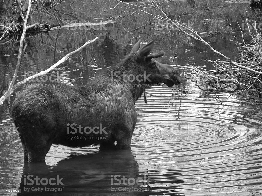 Moose Alces Water Black and White royalty-free stock photo
