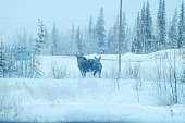 Despite the frigid temperatures, this Mose and calf forage for food in Interior Alaska.  Glennallen, Alaska experienced 40 below temperatures, creating ice fog and icy conditions. The moose of Alaska have adapted well. Despite the deep snow, they are able to move about freely.