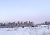 Picture of Moose in Interior Alaska.  Many Moose can be seen alongside the various roads and highways of Alaska. Often times they add beauty to the scenic landscape.  At other times they present a danger to those who are traveling.   Drivers need to use caution as they enjoy the beauty these animals display.  Drivers need to keep a watch for any that might tr to cross the roads.