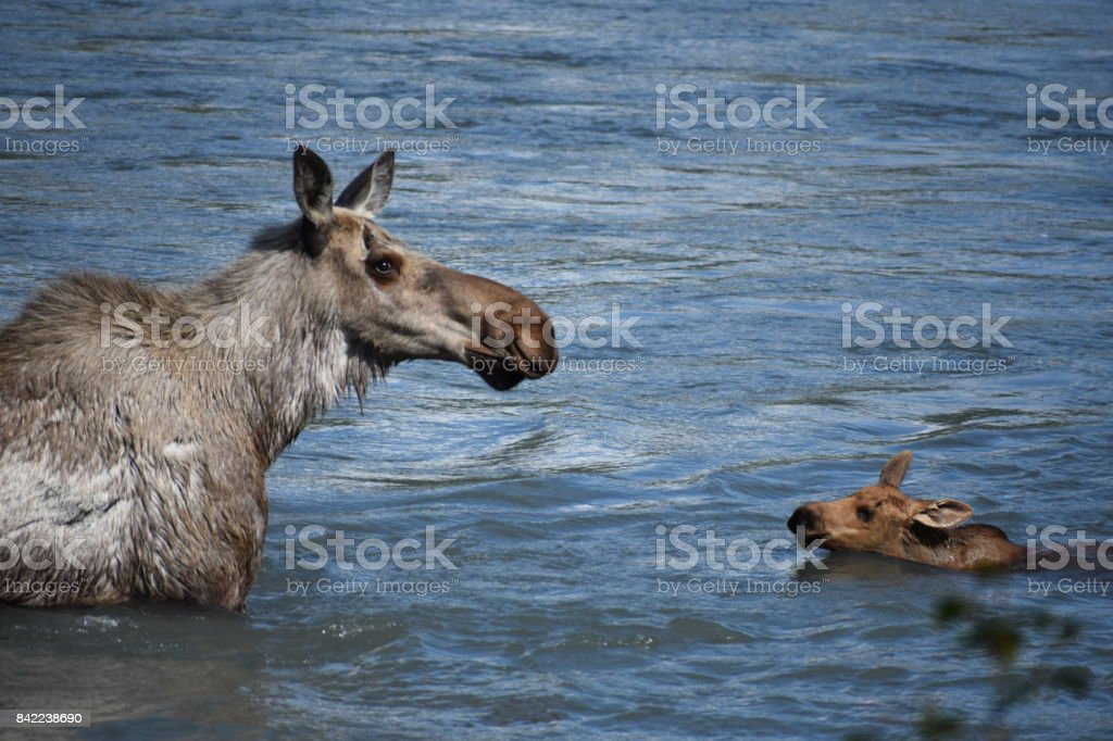 A Moose and her Baby in Alaska stock photo