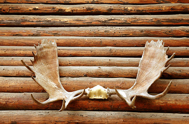 Moose antler hanging on the logs of a wooden wall. stock photo