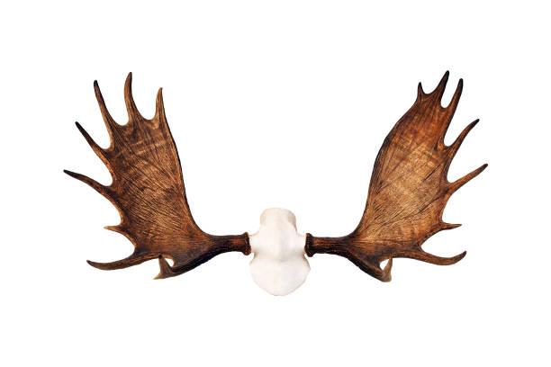 elchgeweihe isoliert auf weißem hintergrund. jagdtrophäe - geweih stock-fotos und bilder