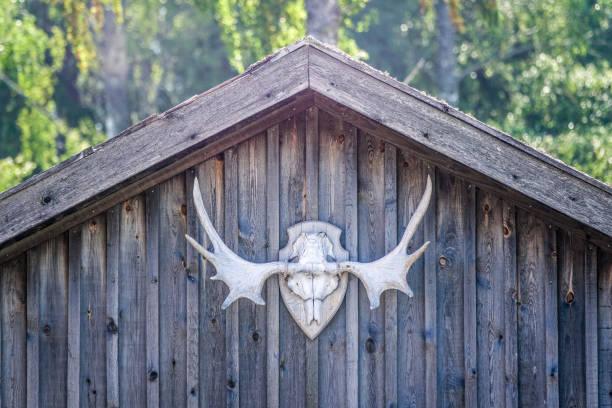 älg horn, trofé skalle på jaktstuga - älg sverige bildbanksfoton och bilder