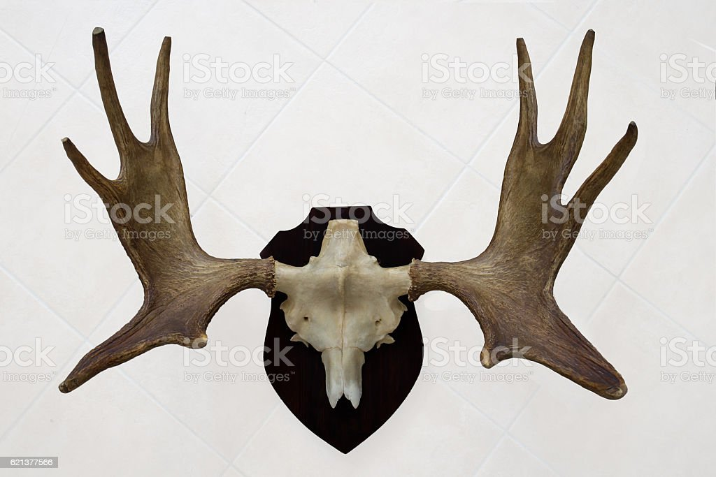 Moose antlers with skull and wall mount stock photo