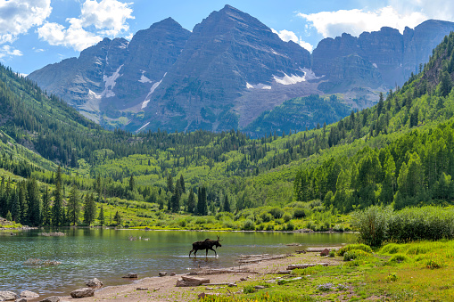 A young moose, with only one antler, walking and feeding in Maroon Lake at base of Maroon Bells on a sunny Summer evening. Aspen, Colorado, USA.