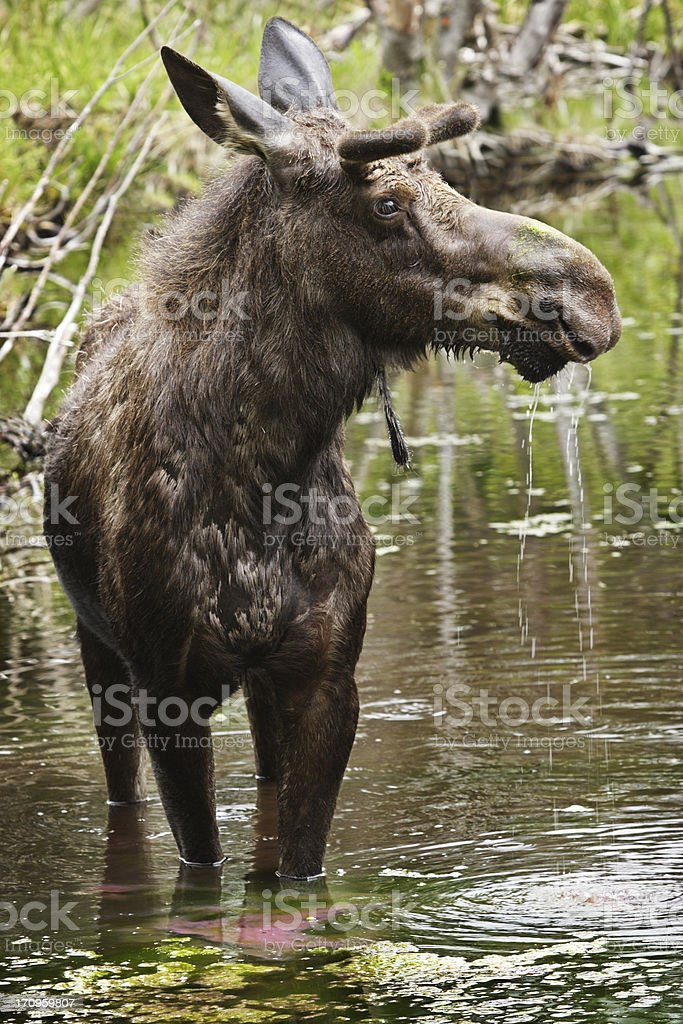 Moose Bull Alces Drooling Eating royalty-free stock photo