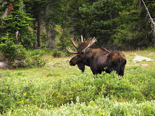 Moose Bull  Alces Wilderness Antlers stock photo