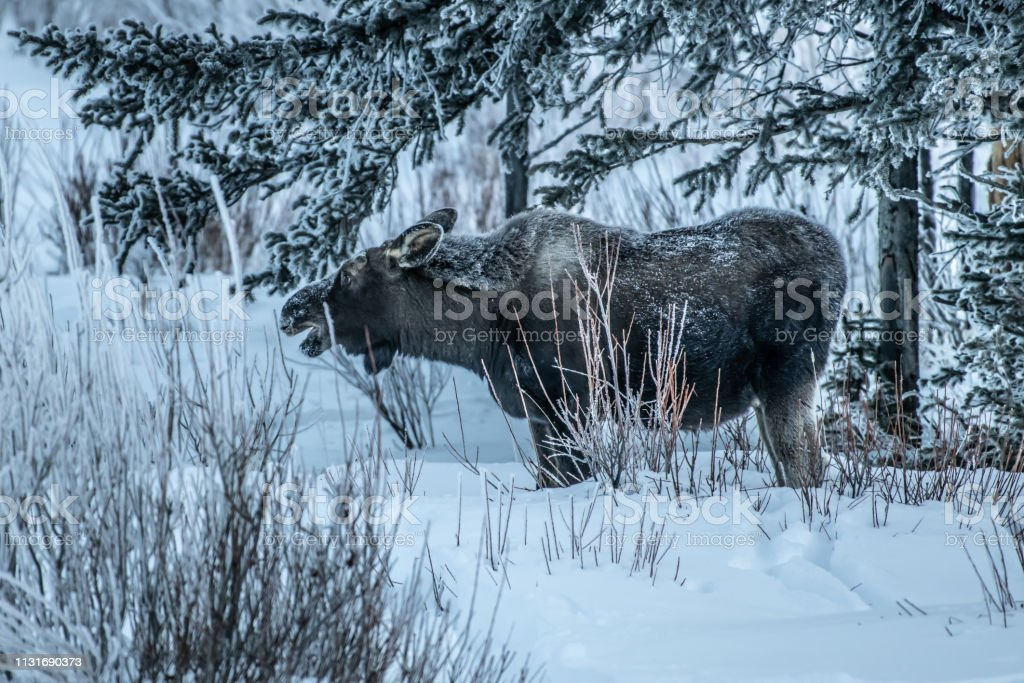 Moose eating from the softer tops of willows on a very cold day in...