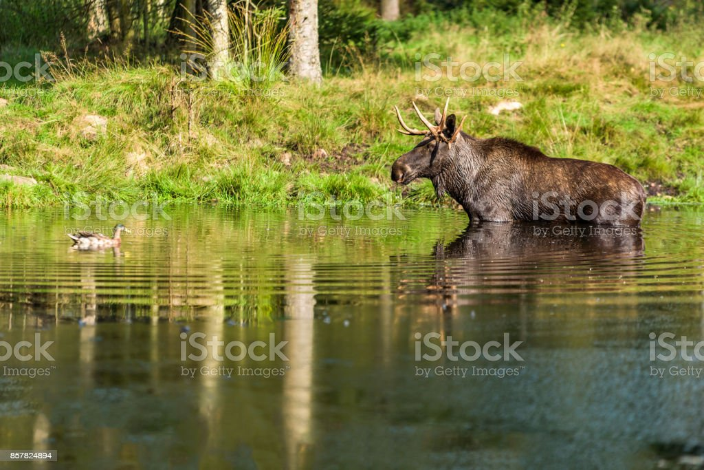 Elch Bulle in See – Foto