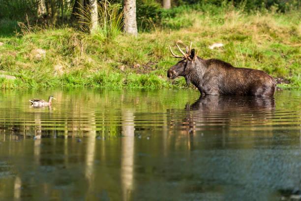 älgtjur i sjön - älg sverige bildbanksfoton och bilder