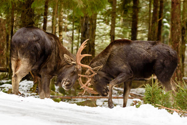 Moose bulls fighting Two moose (Alces alces) bulls fighting in winter forest landscape beside a country road. taiga stock pictures, royalty-free photos & images
