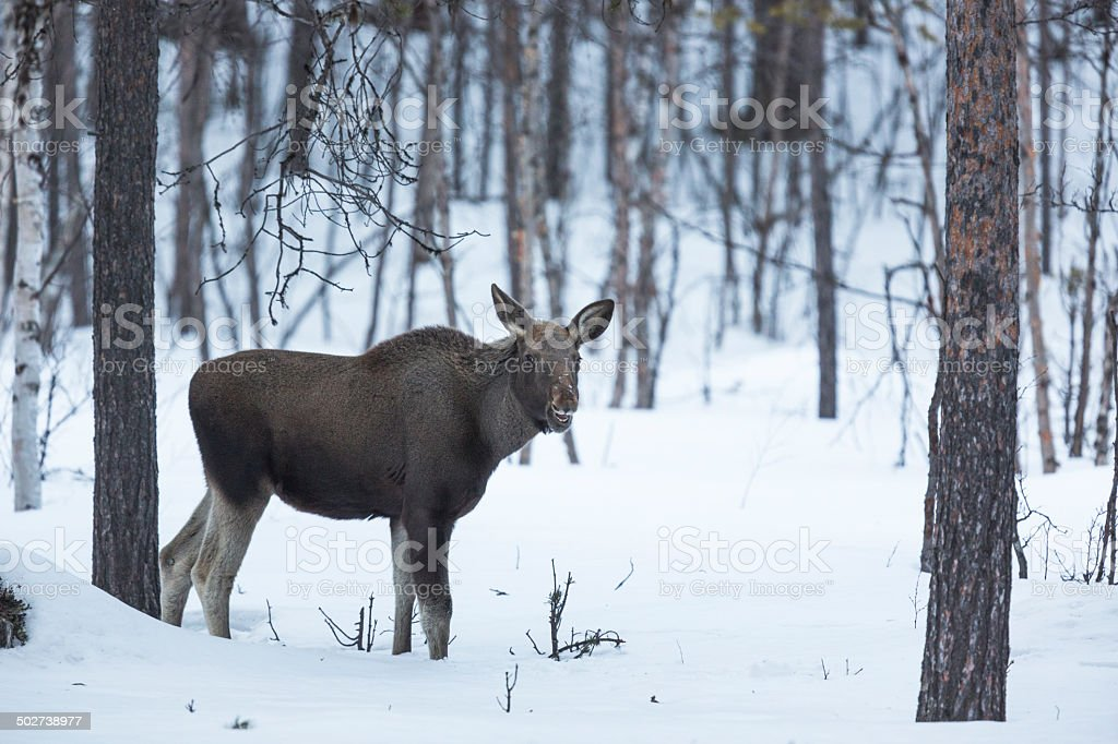 Moose calf, Alces alces stock photo