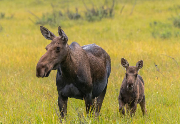 Moose calf alert next to mother picture id881161174?b=1&k=6&m=881161174&s=612x612&w=0&h=qqtkid15xq tztxpxe lpbrzutzbiuoqqxexga2o  s=