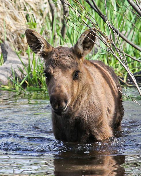 Moose Calf III stock photo
