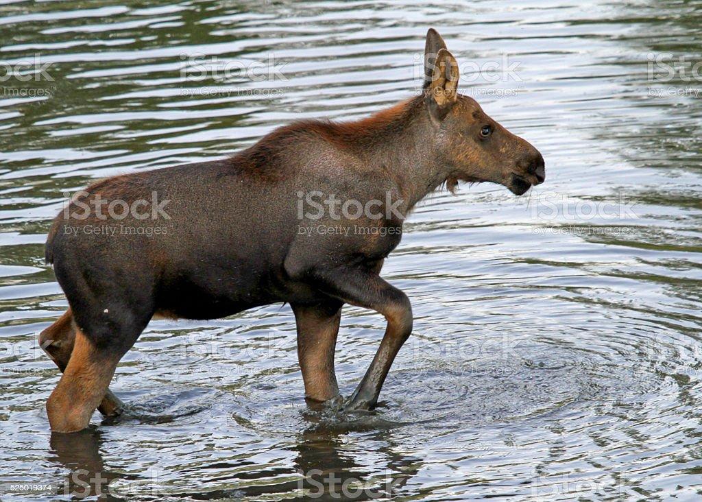 Moose Calf in Gros Ventre River stock photo