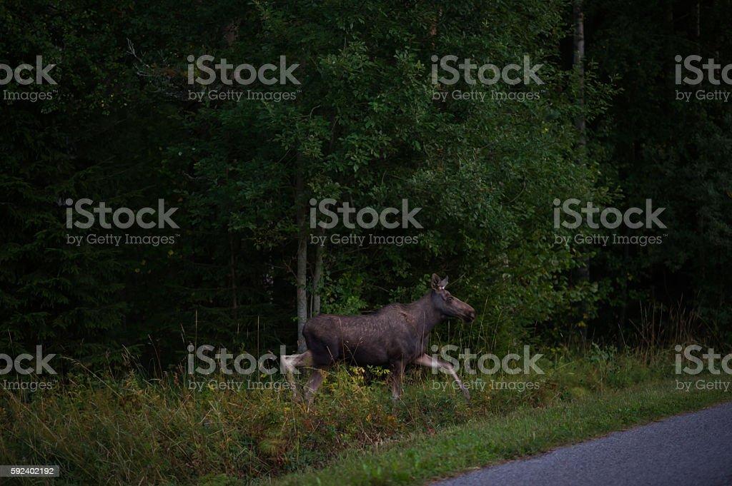 Moose Calf bildbanksfoto