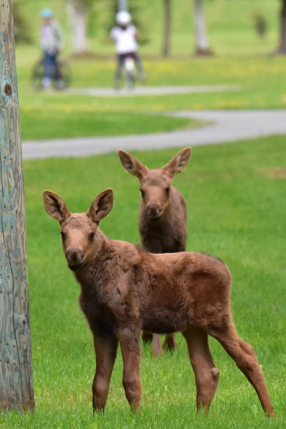 Moose calves at the park stock photo