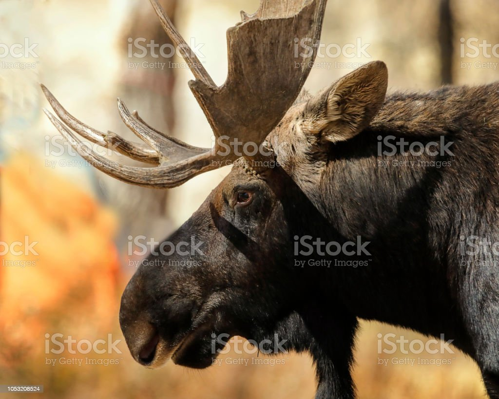 Moose close up of head stock photo