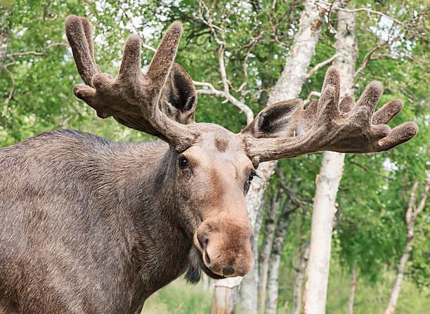 Moose closeup picture id507270450?b=1&k=6&m=507270450&s=612x612&w=0&h=i9enqd0brstq1ibhr o0mlgftd3rd 9lqyiiv ggjso=