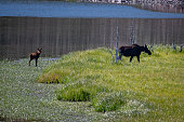 Bull moose grazing on underwater plants in high mountain lakeMoose cow and her small calf
