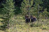 Moose cow and her small calf
