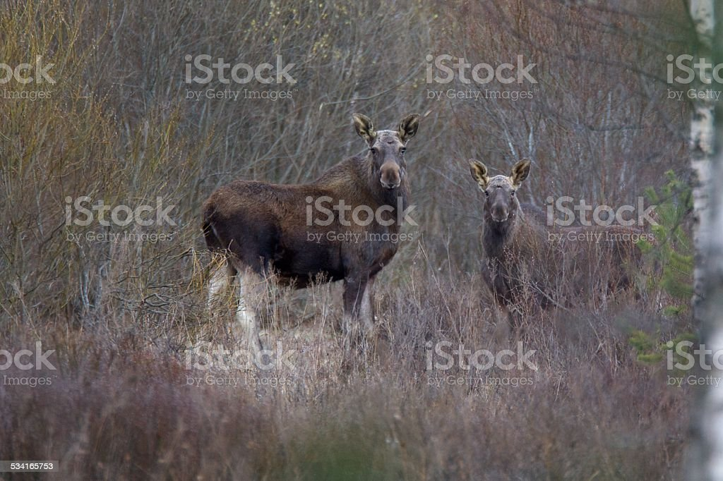 Moose cow with calf stock photo