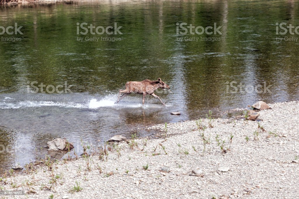 Moose crosses the river stock photo