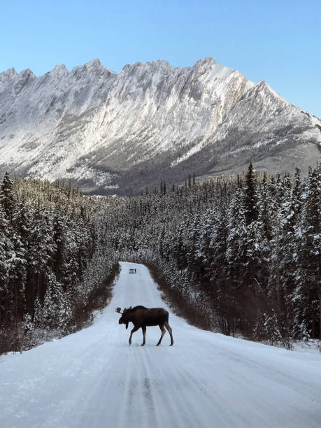 moose crossing - moose stock pictures, royalty-free photos & images