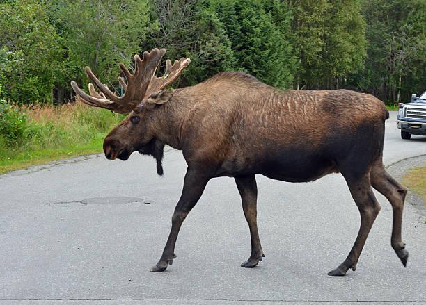 Moose crossing road alaska picture id509988888?b=1&k=6&m=509988888&s=612x612&w=0&h=kblbjxaoaaxaa88wikchjpsgsds faxdjxt dzqblgg=