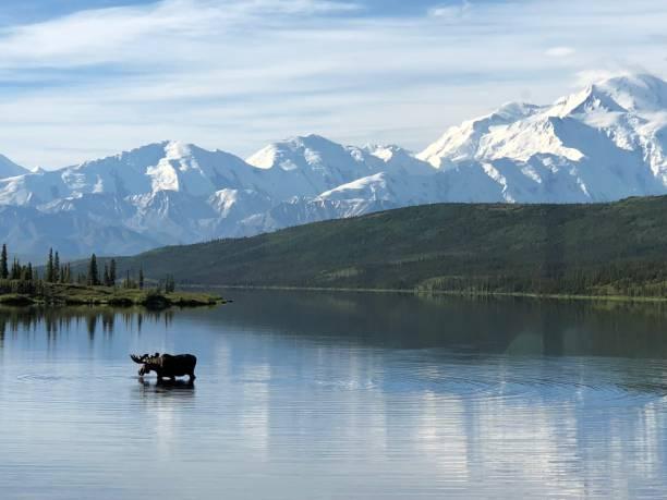 älg & denali - denali national park bildbanksfoton och bilder