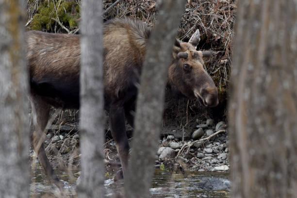 Moose drinking stock photo