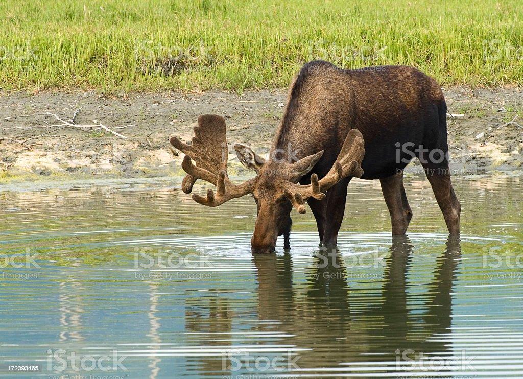 Moose Drinking Water royalty-free stock photo