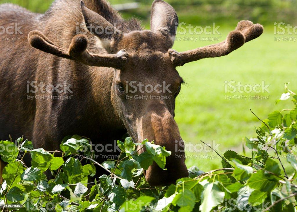Moose eating bush royalty-free stock photo