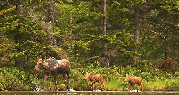 moose família caminhando pela beira de um lago - com os pés na água - fotografias e filmes do acervo