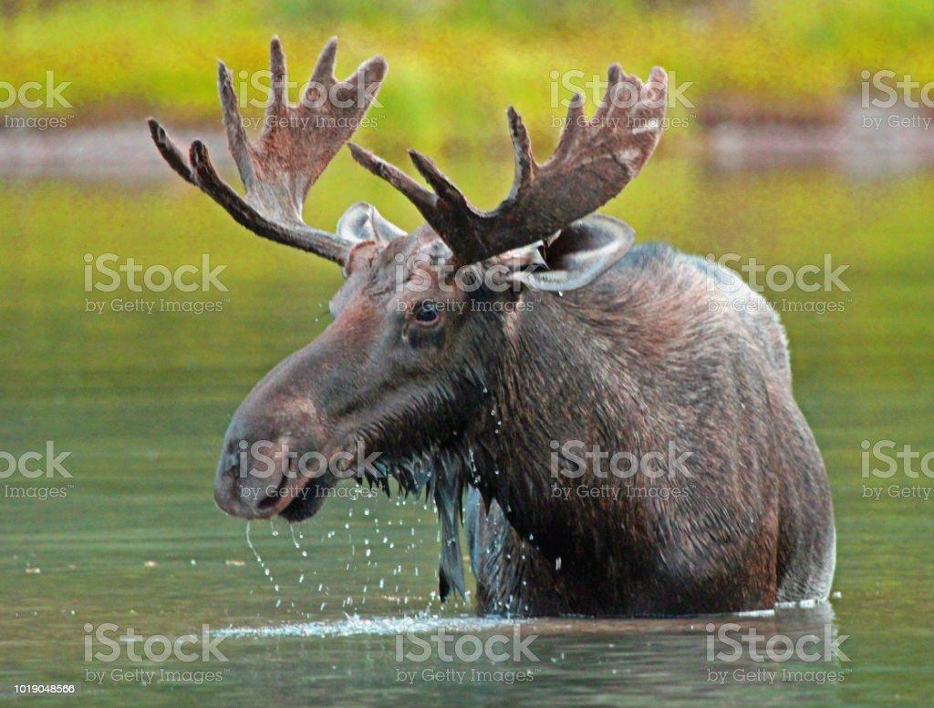 Moose - Fishtrap Lake, Many Glaciers, Glacier National Park, Montana stock photo